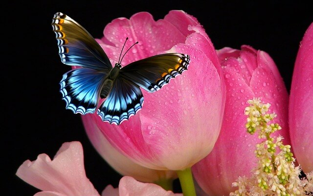 tulip-858781_640